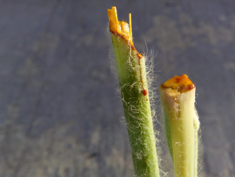 Chelidonium majus plantas conect e - Cortar hierba alta ...
